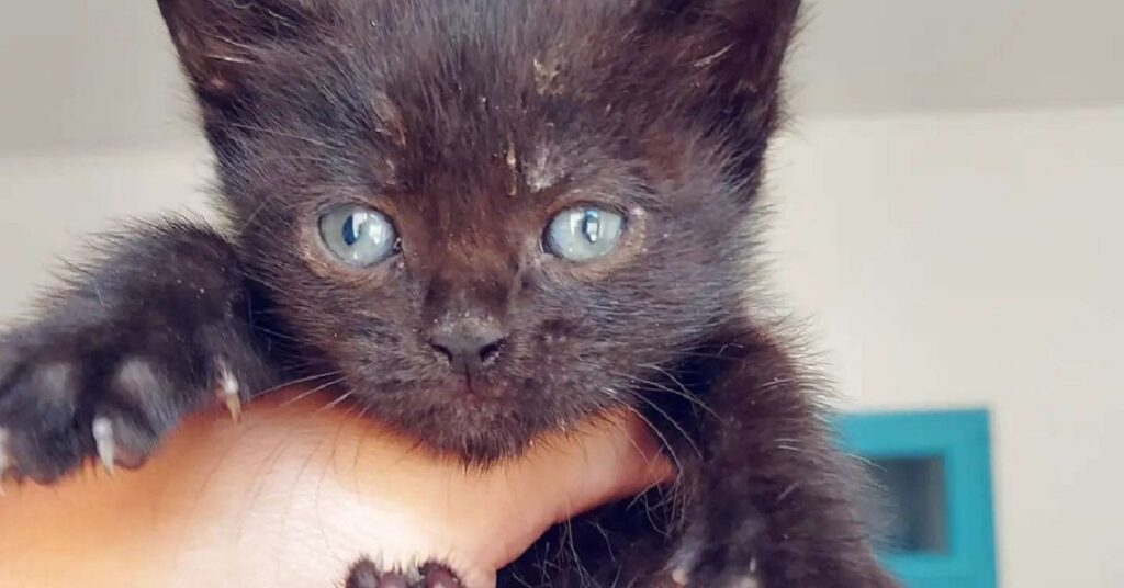 gatto dal pelo nero
