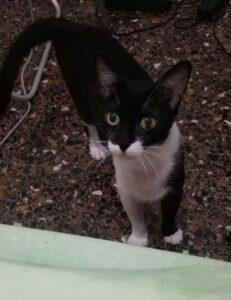 gatto Oreste nero e bianco