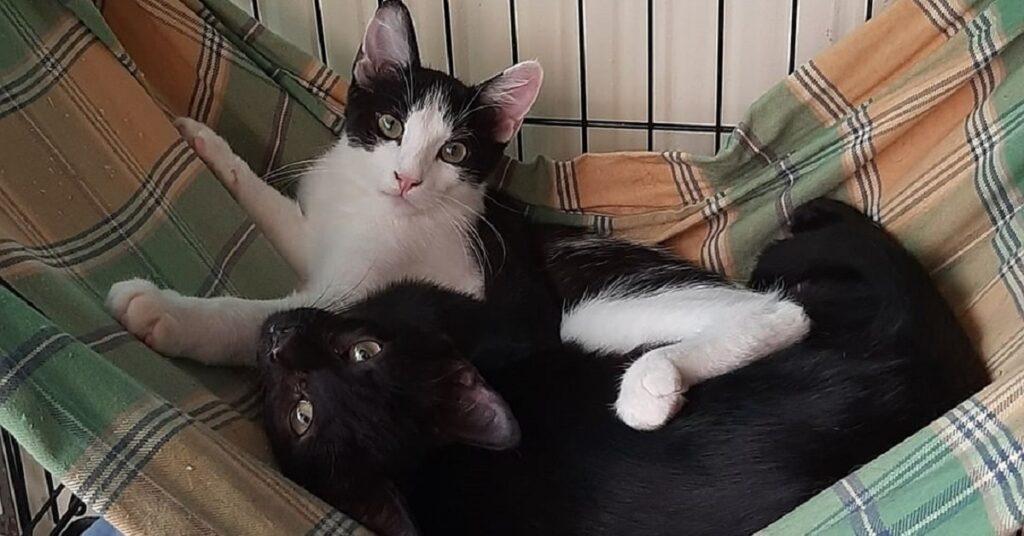 gatto dal pelo bianco e nero e gatto dal pelo nero