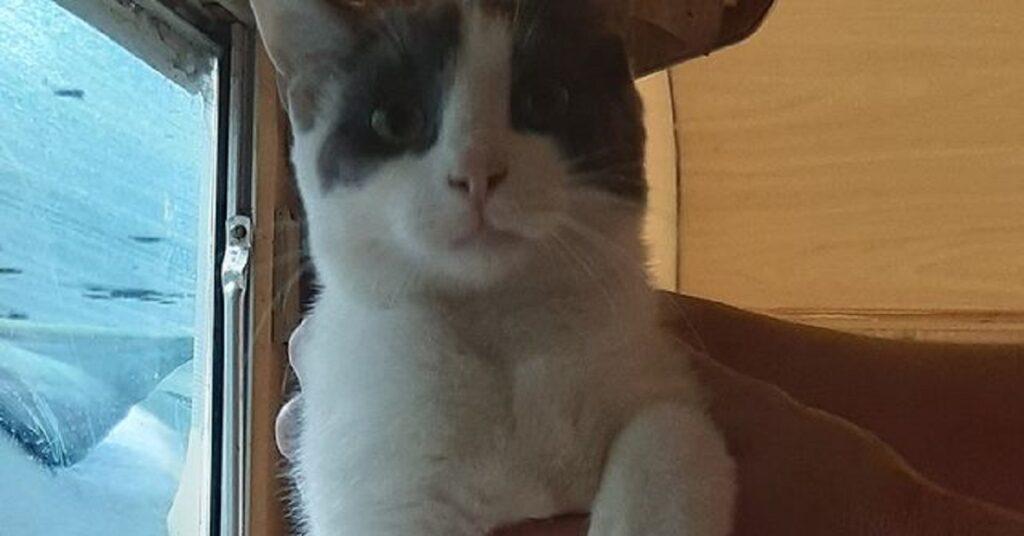 gatto dal pelo bianco e grigio