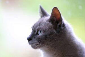 gatto grigio di profilo