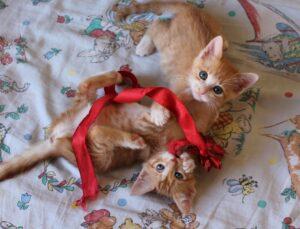 coppia di gattini rossi