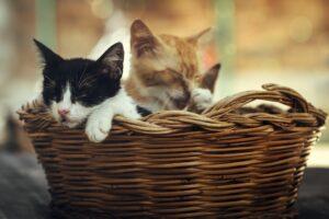 gattini dentro ad una cesta di vimini
