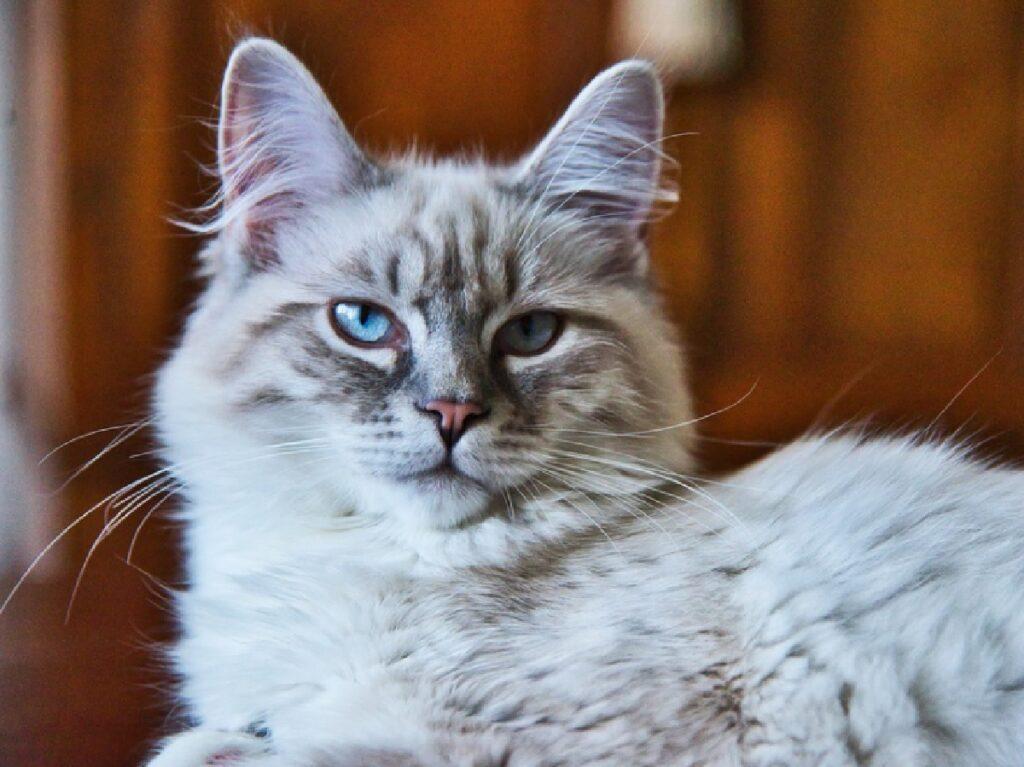 gatta pelo chiaro bianco grigio