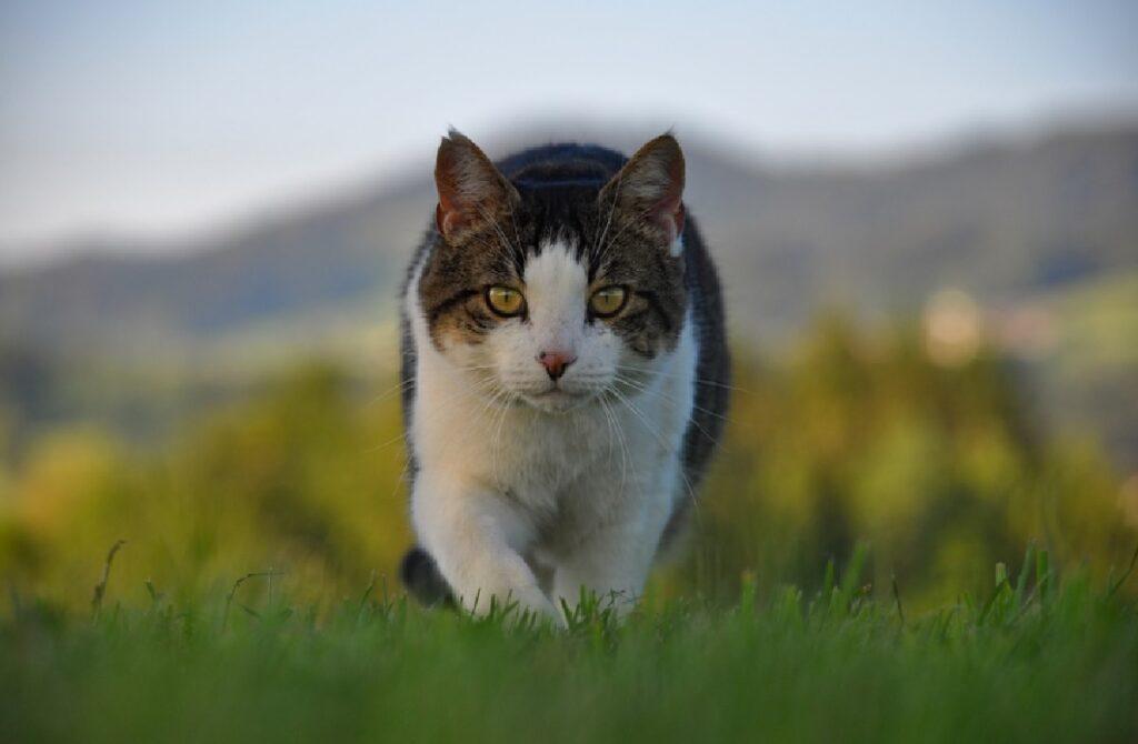 gatto cammina sopra erba