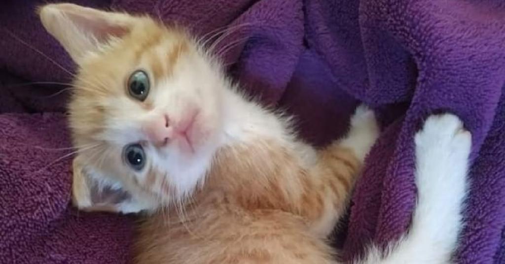 gattino dagli occhi azzurri