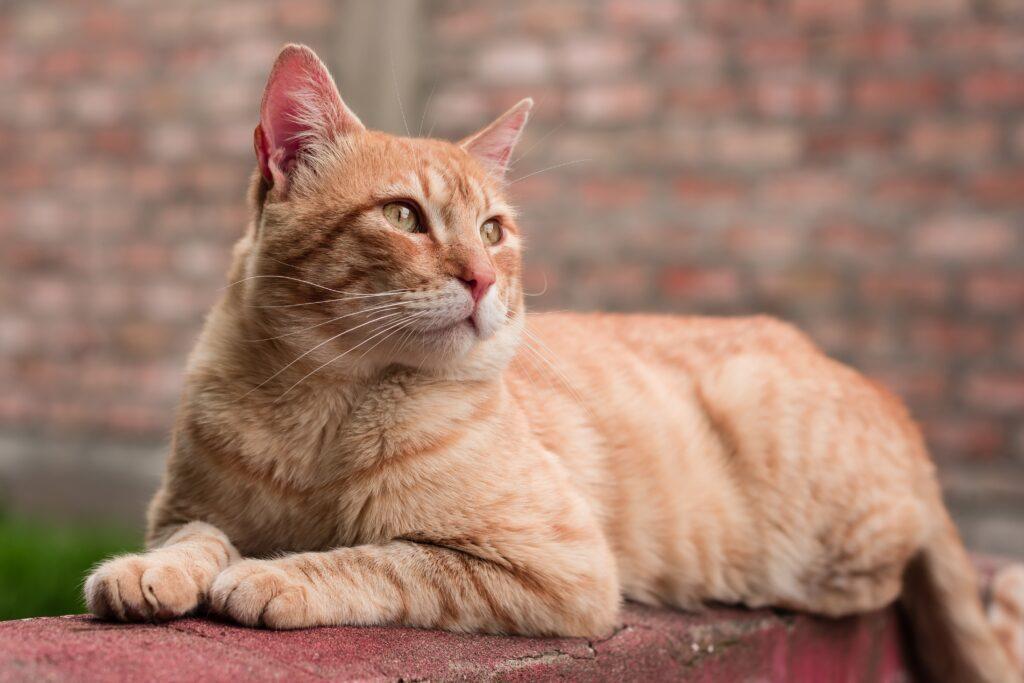 gatto tigrato arancione