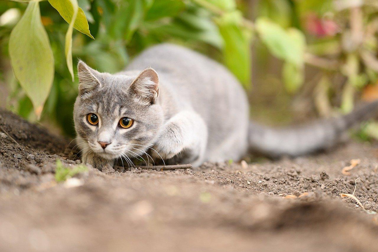gatto alla ricerca di prede