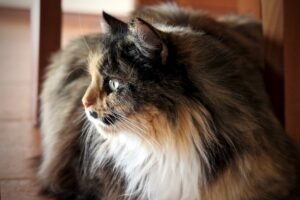 gatto con pelo folto e lungo