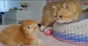 gatta melania vede il gattino william