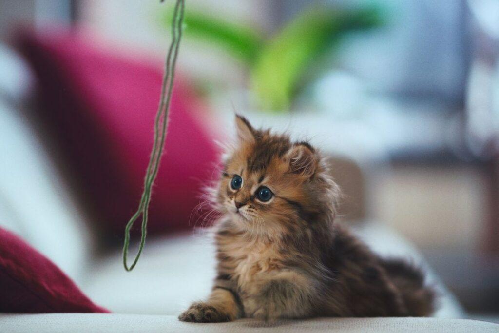gattino gioca con lo spago