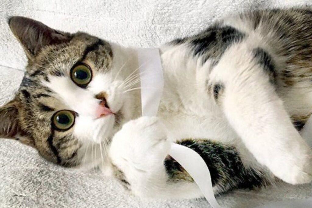 gatto avvolto in un nastro bianco