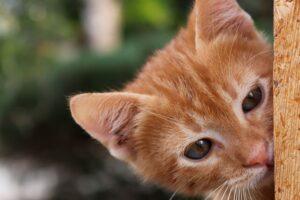 gattino rosso dolce