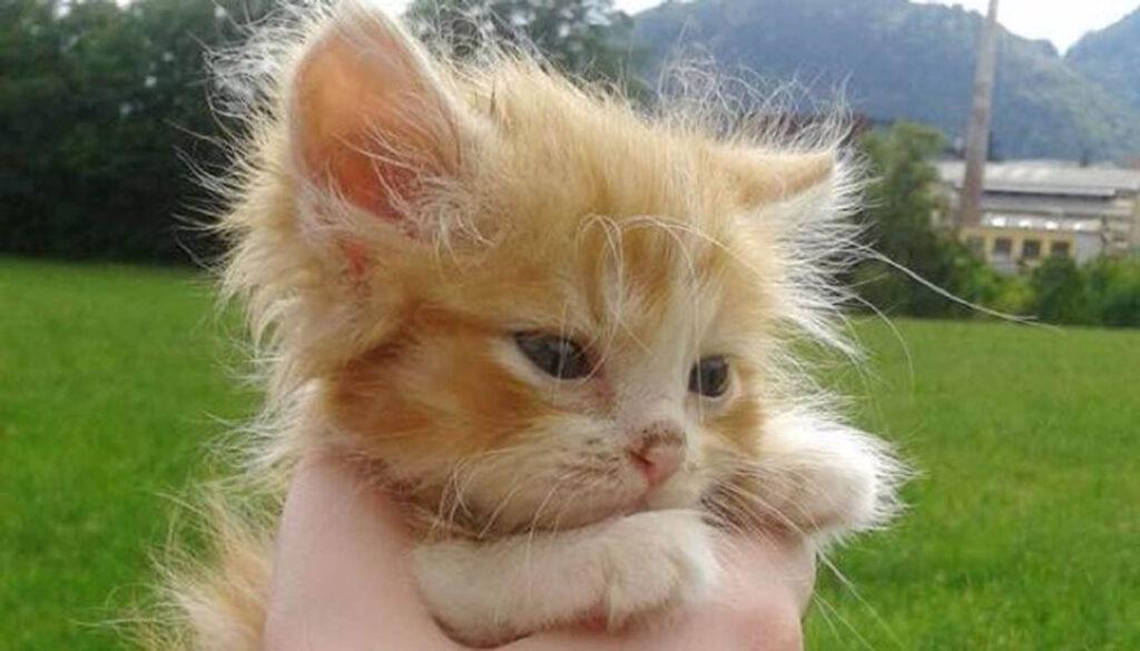 gattina rossa minuscola