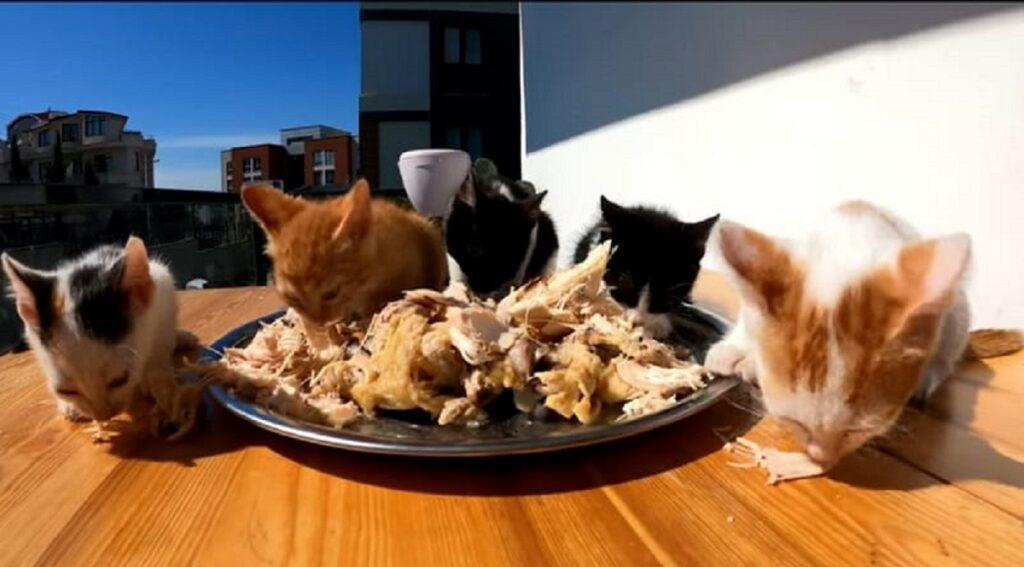 gattini orfani mangiano per la prima volta pollo
