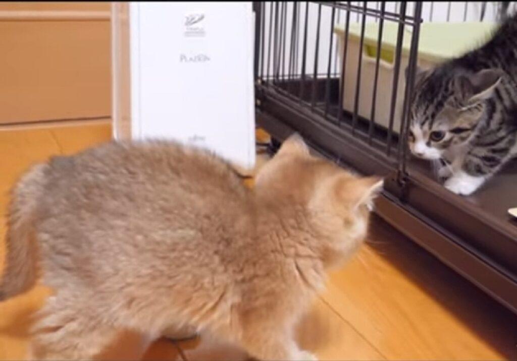 gattino coco incontrala gattina mimi