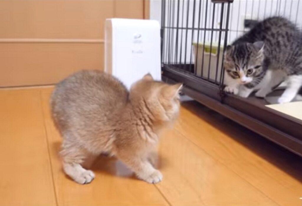 gattino coco incontra la gattina mimi per la prima volta