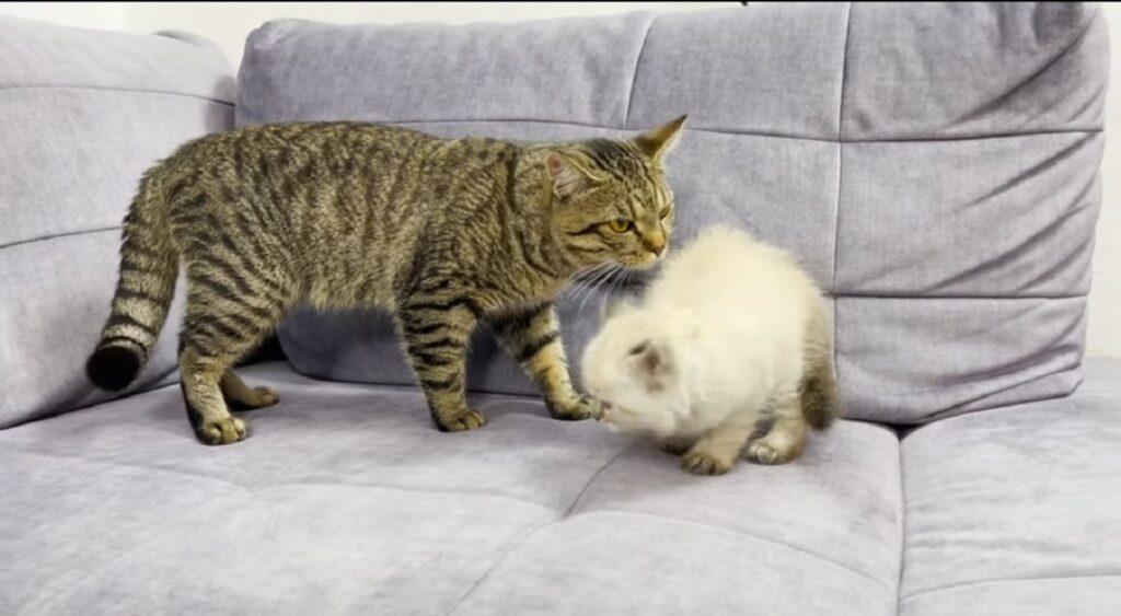 gatto sammy conosce un nuovo pelosetto