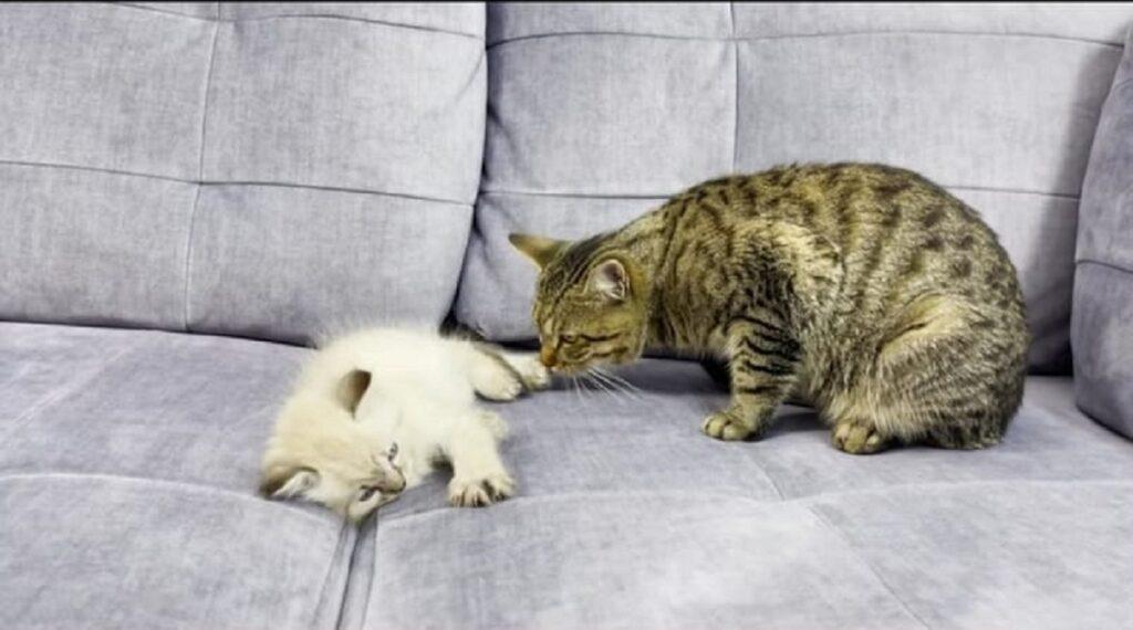 il gatto sammy e un dolce gattino