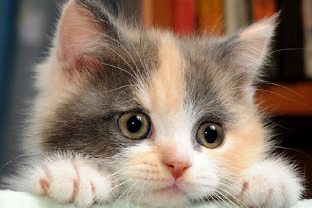 gattina dolce