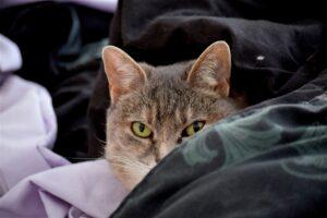 gatto che ti fissa sul letto