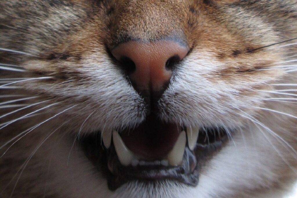 primo piano della bocca di un gatto