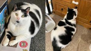 gatto bianco e nero grasso