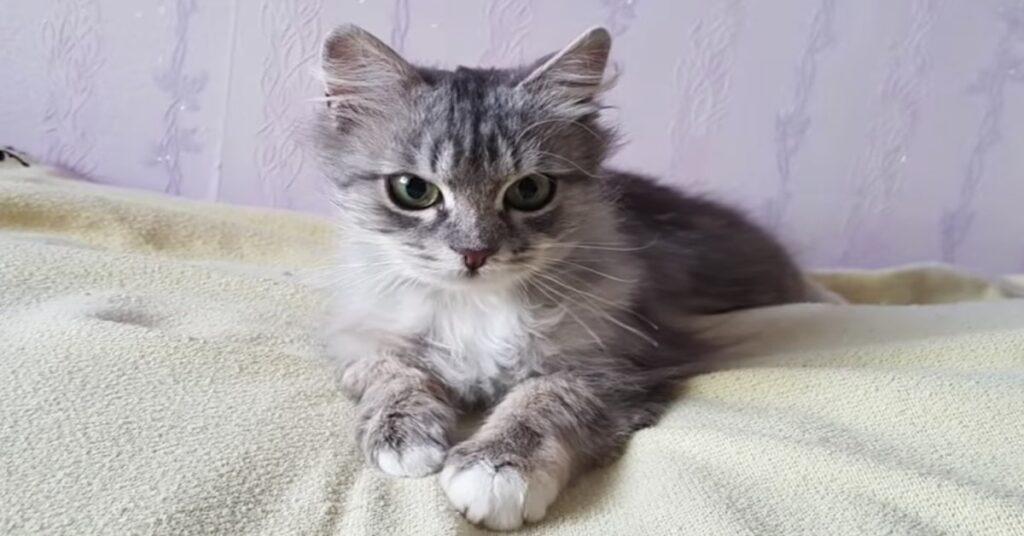 gattino grigio sul letto