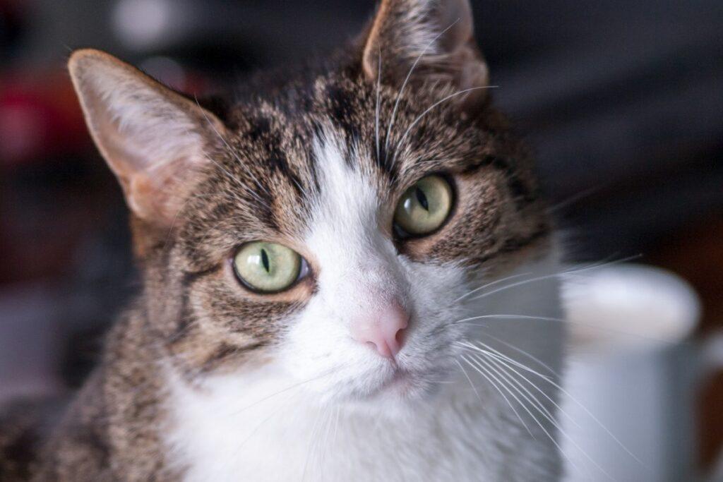 gatto marrone e bianco