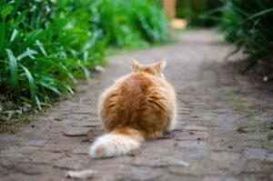 gatto coda lunga