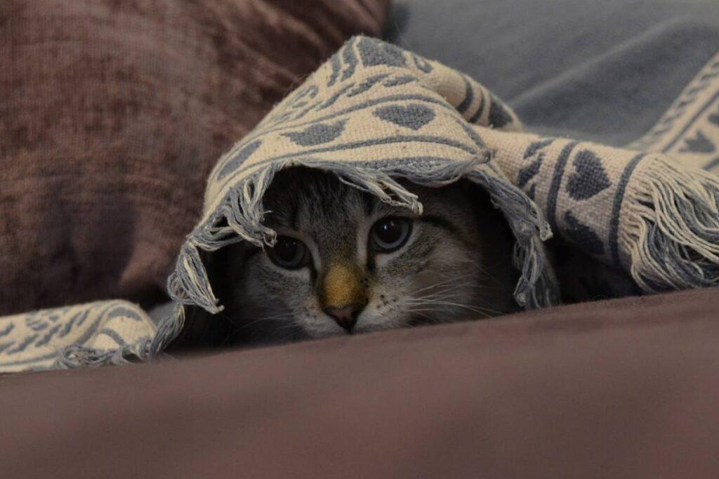 gatto sotto al tappeto