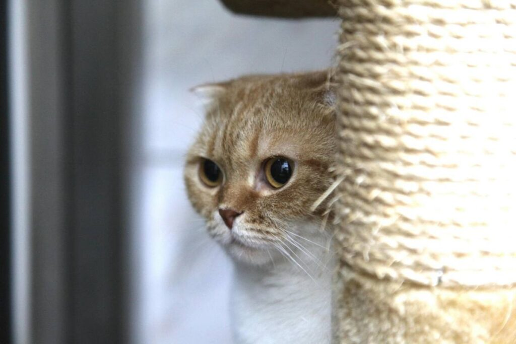 gatto si nasconde dietro al tiragraffi