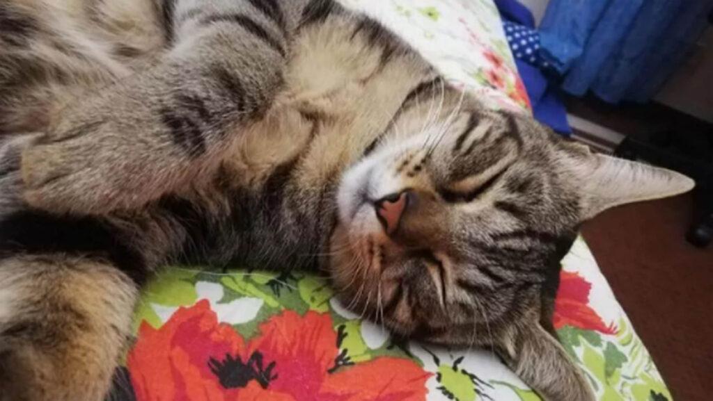 gattino grigio sdraiato