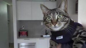 gatto grigio con pettorina