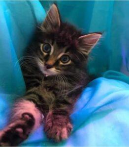 gattino su una coperta blu