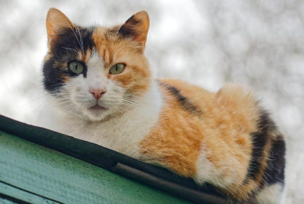gatta calico sulla grondaia