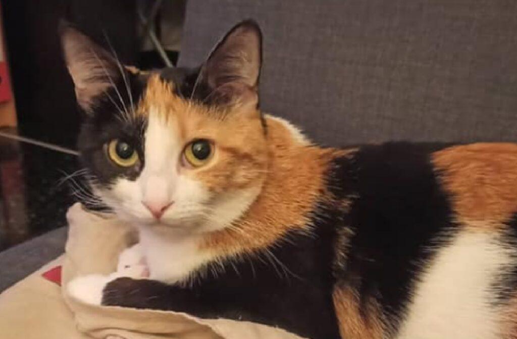 gatta calico pelo chiaro scuro e marrone