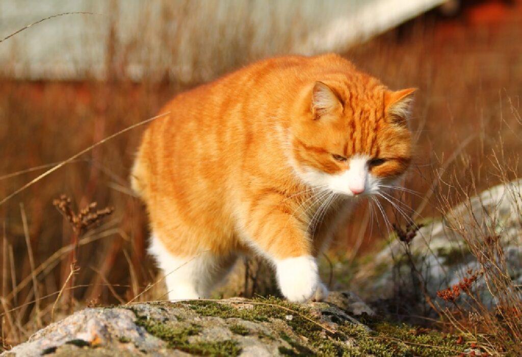 gatto rosso cammina sullo sterrato