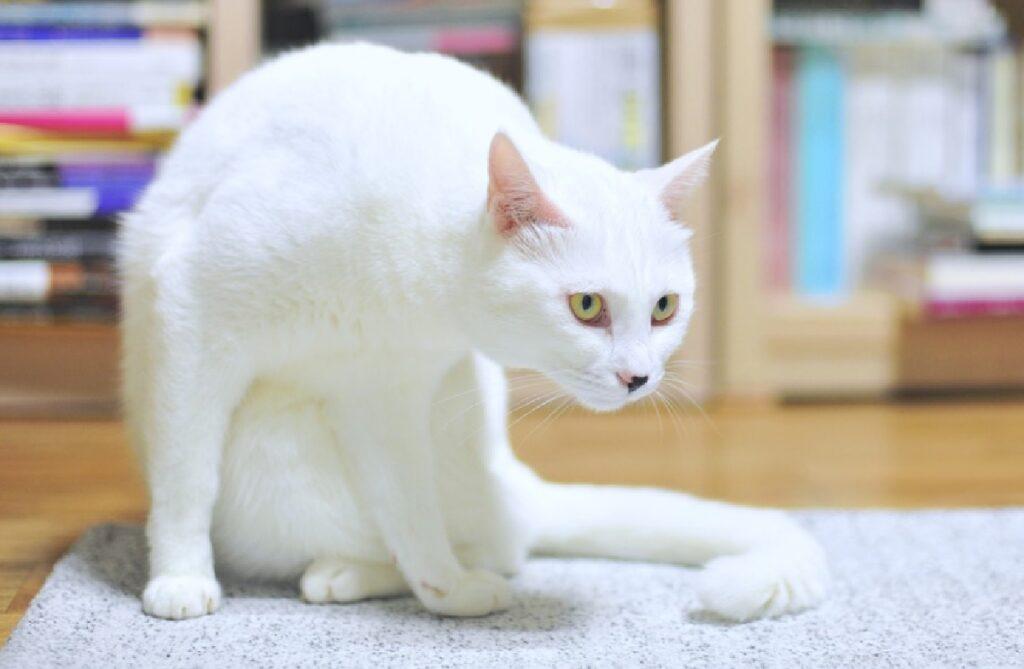 gatto bianco occhi gialli coda lunga