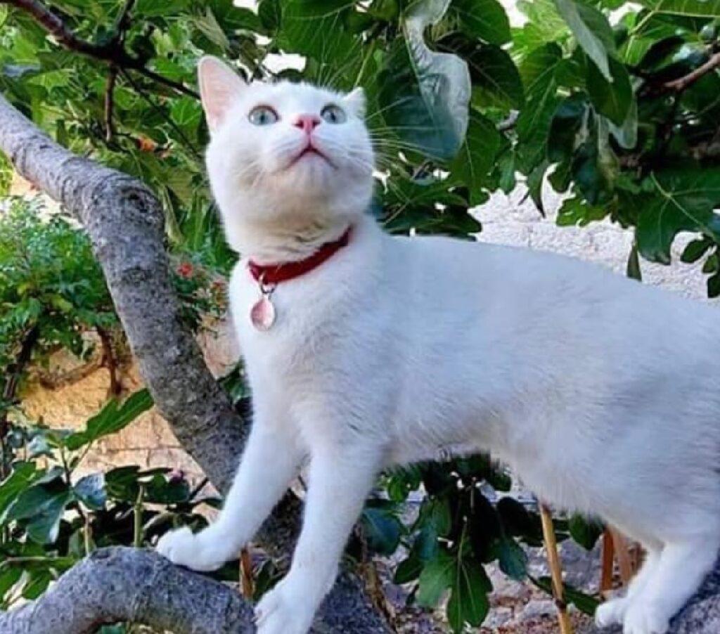 gatto collare con targhetta