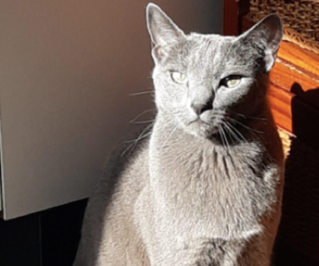 gatto blu di russia contro sole