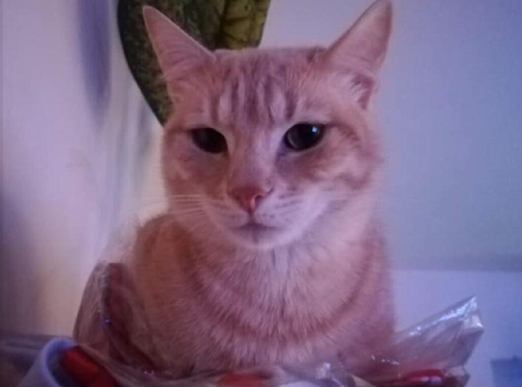 gatto rosso musetto bianco