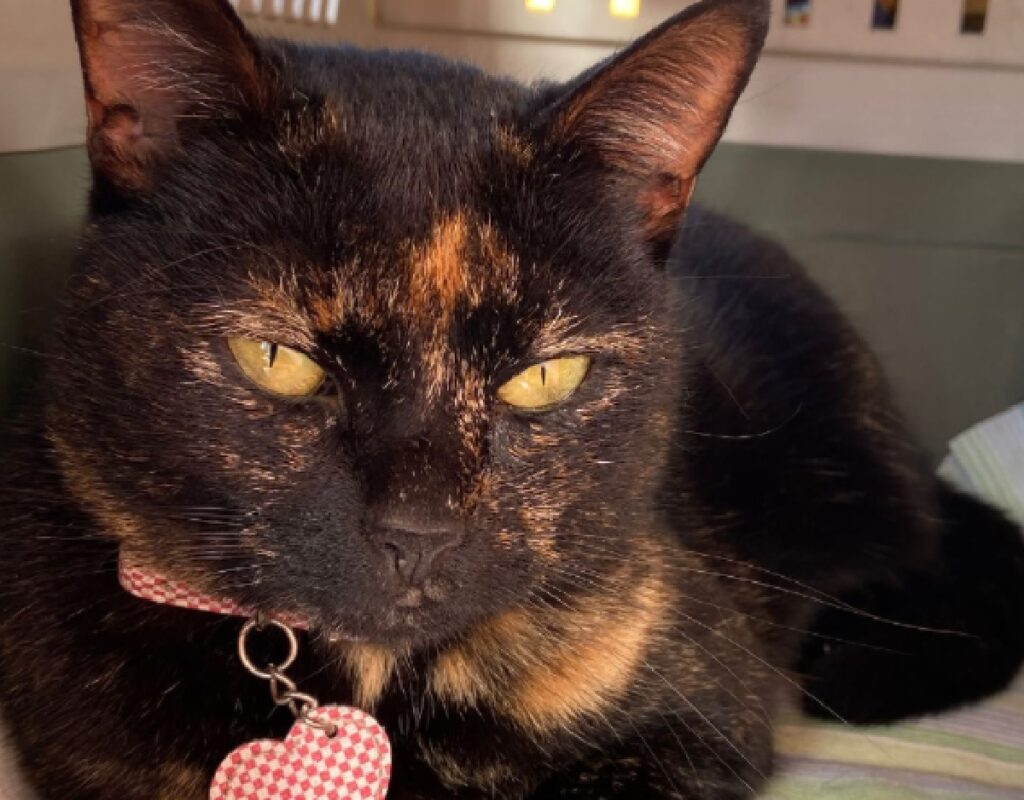 gatta pantera occhi gialli