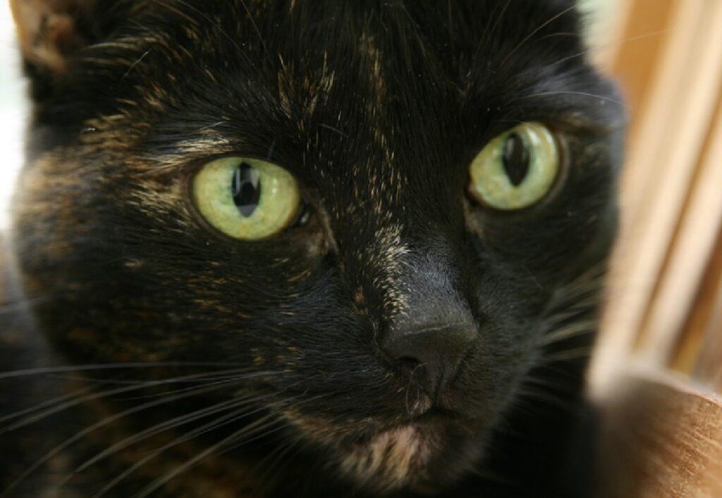 gatta dal pelo nero scuro