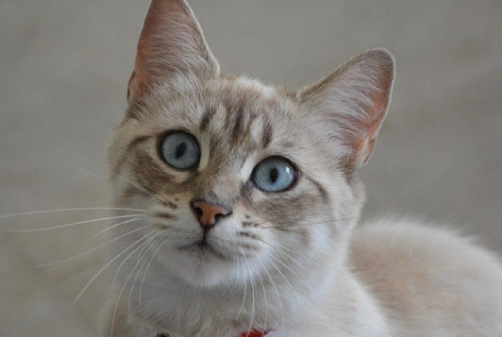 gatto soriano collare rosso