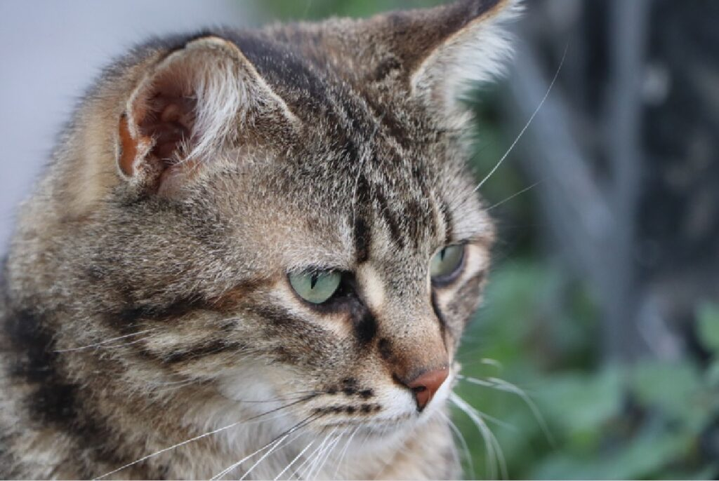 gatto soriano lunghi baffi bianchi
