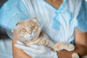 gatto con collare elisabettiano