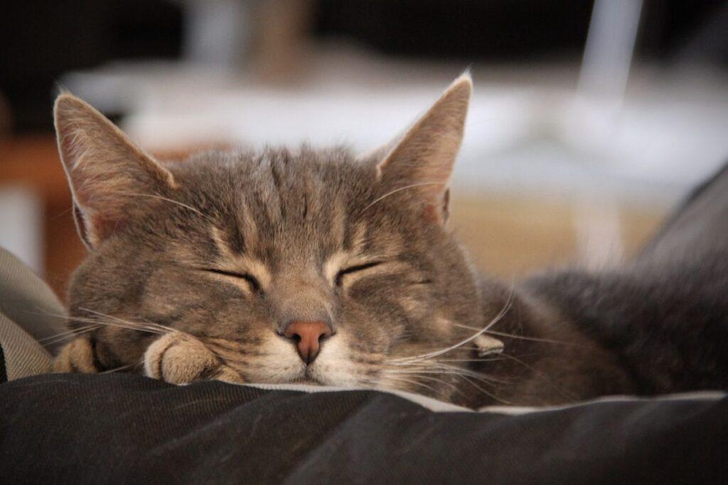 gatto con occhi chiusi