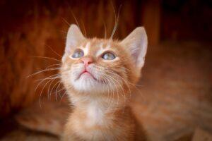 gattino rosso guarda in alto