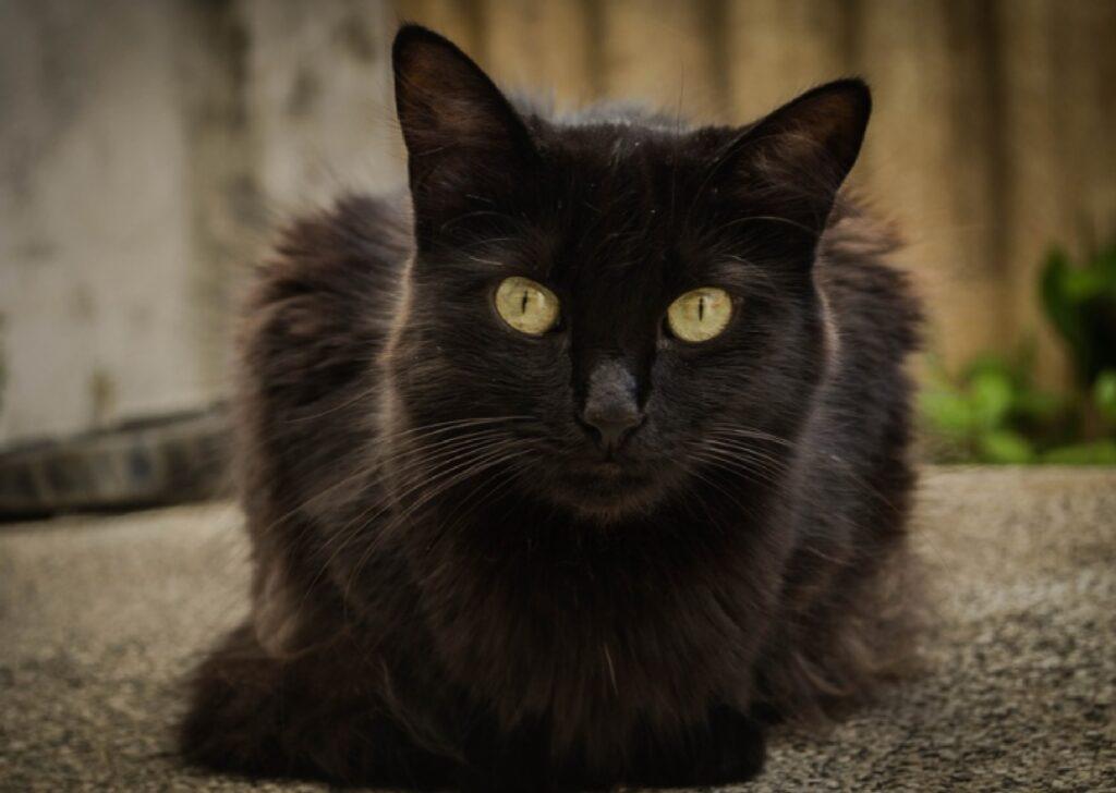 gatto salem ritrovamento ricompensa
